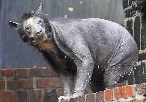 Una delle orse «calve» dello zoo di Lipsia (Afp)
