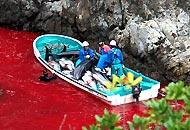 Il mare rosso sangue  di TaijiIniziata la caccia a delfini e balene