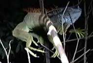 le iguane cadono congelate dagli alberi