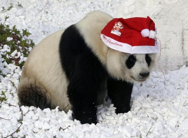 Panda Babbo Natale in uno zoo cinese (Reuters)
