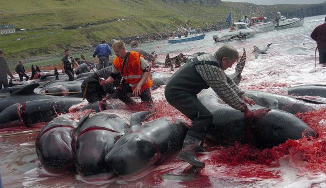 mattanza delle balene nelle isole Fær Øer